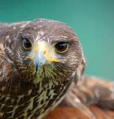Greifvögel in Konzenberg hautnah erleben