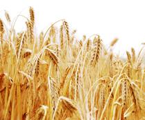Erfahren Sie mehr über den Anbau, das Heranwachsen, dreschen und Weiterverarbeiten des Getreides auf einem Biohof bei Neu-Ulm