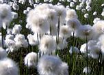 Wollgras gehört zu den Pflanzen im Erlebnispfad